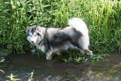 Malamute die van Alaska in water waden Stock Afbeeldingen