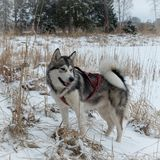 Malamute do Alasca imagens de stock