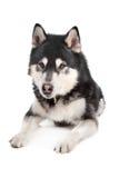 Malamute do Alasca imagem de stock royalty free
