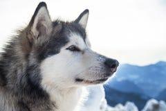 Malamute do Alasca Imagens de Stock Royalty Free