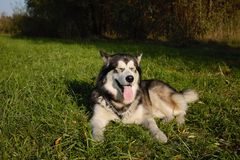 Malamute do Alasca Foto de Stock Royalty Free