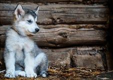 Malamute do Alasca do cachorrinho bonito fotografia de stock
