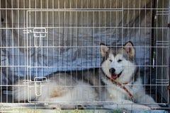 Malamute do Alasca da raça do cão foto de stock