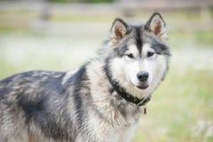 Malamute do Alasca novo em uma caminhada em um parque Foto de Stock Royalty Free