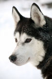 Malamute dog Stock Photography