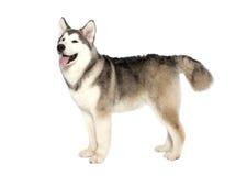 Malamute dog Royalty Free Stock Image