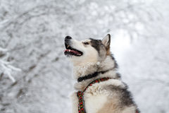 Malamute dog Royalty Free Stock Photography