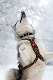 Malamute dog Stock Image