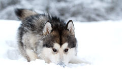 Malamute dog Stock Photo
