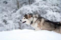 Malamute dog Royalty Free Stock Photography