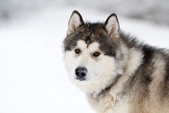 Malamute dog Royalty Free Stock Image