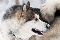Malamute dog. In winter forest Royalty Free Stock Photos