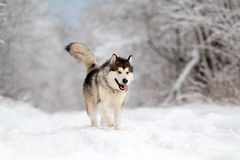 Malamute dog. In winter forest Royalty Free Stock Images