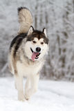 Malamute dog Stock Images
