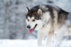 Malamute dog Royalty Free Stock Photos