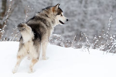 Malamute dog. In winter forest Royalty Free Stock Image