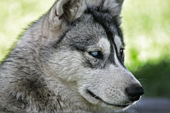 Malamute dog Royalty Free Stock Photo