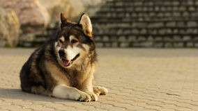 Malamute dog laying on concrete Royalty Free Stock Images