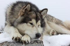 Malamute dog lying Royalty Free Stock Photo