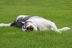 Malamute Dog Playing Ball. Malamute doglaying in a he grassy with a ball in his mouth Stock Images