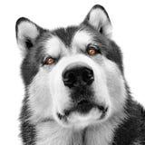 Malamute dog portrait. Large male malamute dog portrait with piercing eyes Stock Photos