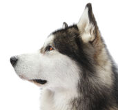 Malamute dog portrait Royalty Free Stock Images