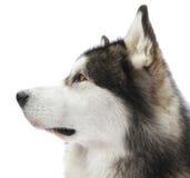 Malamute dog portrait Royalty Free Stock Images
