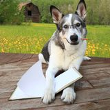Sled dog reading with a pencil in its mouth Royalty Free Stock Photo