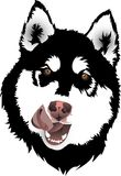 Malamute dogs head Stock Image