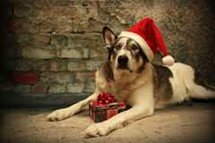 Malamute Dog in a Santa Hat Stock Image