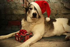 Malamute Dog in a Santa Hat Stock Photos