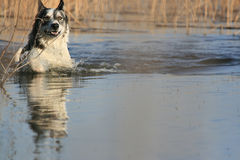 Malamute Dog Swimming. In the lake with a wild look on his face Royalty Free Stock Photo