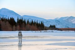 Malamute dog walking on frozen lake. Winter landscape with snowy mountains, trees and the frozen lake in Yakutia, Siberia, Russia. Malamute dog walking on stock image