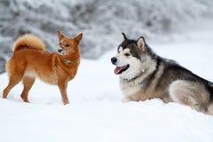 Malamute e cão eskimo Foto de Stock Royalty Free