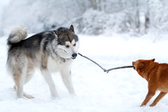 Malamute and eskimo dog Stock Images