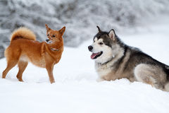 Malamute and eskimo dog Royalty Free Stock Photo