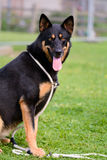 Malamute German Shepherd cross Stock Images