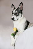 Malamute Holding a Yellow Rose. With his paws Royalty Free Stock Images