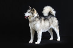 Malamute isolated in studio Stock Image