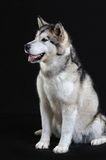 Malamute isolated in studio Royalty Free Stock Photo