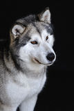 Malamute isolated in studio Stock Photography