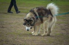 Malamute kweekte puppy werd geinteresseerd in wat achter hem gebeurde en zich omdraaide royalty-vrije stock foto