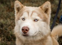 Red or brown and white malamute dog photographed outdoors. Malamute mix dog photographed outdoors for a local non-profit shelter. This dog has been adopted royalty free stock images