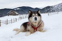 Malamute in montagne di inverno Fotografia Stock