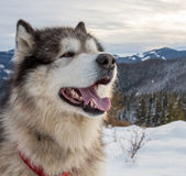 Malamute in montagne di inverno Immagine Stock Libera da Diritti