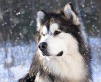 Malamute na neve imagens de stock