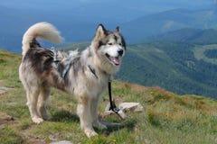Malamute na wierzchołku góra Zdjęcie Royalty Free