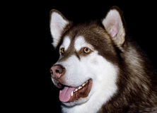 Malamute portrait Stock Photo