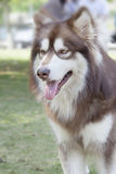 Malamute Royalty Free Stock Photography