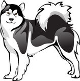 Malamute psa traken Zdjęcie Royalty Free